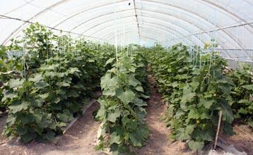 В Атырау в новой теплице приступили к сбору урожая