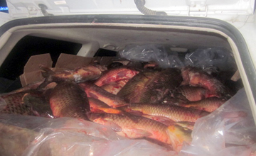 В Атырау дорожные полицейские «поймали» на трассе «Актобе-Атырау» тонну сазана