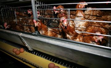 В Атырауской области начала работать первая птицефабрика