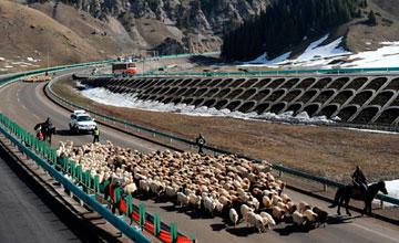 В Синьцзяне отары овец по скоростным автострадам кочуют на весенние пастбища
