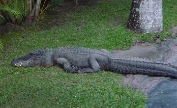 Австралияда 5 метрлік қолтырауынның ішінен адам денесінің қалдығы табылды