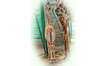В алматинском зоопарке родился детеныш жирафа (ФОТО)