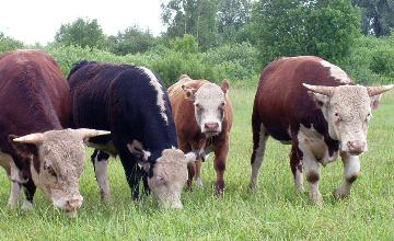 ПРОГРАММА СЫБАҒА: В жамбылских хозяйствах содержится 800 голов племенных КРС элитных пород