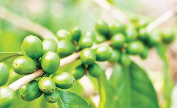 Green coffee: A weight loss miracle?