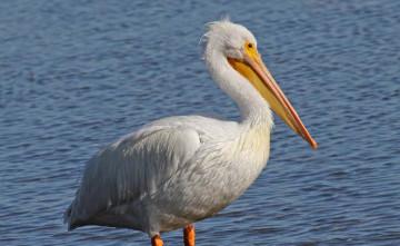 70 rare Dalmatian pelicans found dead in Atyrau rgn