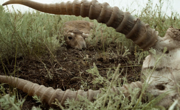 100 saiga antelopes mysteriously die off in Kostanay rgn