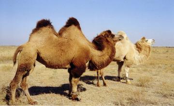 骆驼业专家会聚阿拉木图 共谋骆驼产业发展大计