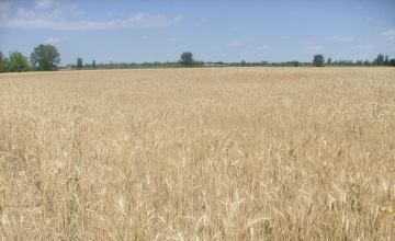 Средняя урожайность зерновых колосовых в Жамбылской области составляет 14,8 центнера на круг