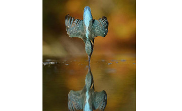 Шотландиялық фотограф көктарғақтың суға сүңгу сәтін түсіруге 6 жыл әрекеттенген