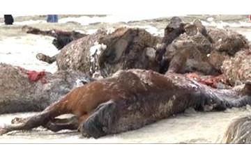 В Атырауской области в траншее для газопровода погибли десятки лошадей