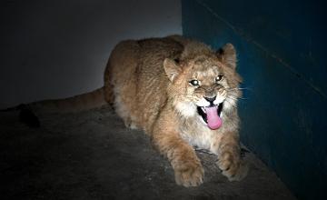 В Алматинском зоопарке появился львенок Хамзат (ФОТО)