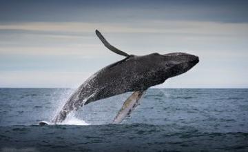 Ғалымдар киттердің майшабақтарды аулаудағы құпиясын ашты