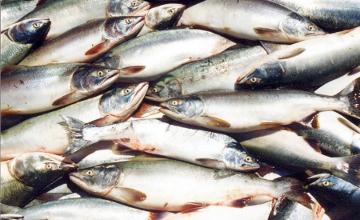 Рыбоохранная акция «Бекiре»  началась в Атырауской области