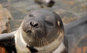 В Атырауской области зафиксирована массовая гибель тюленей