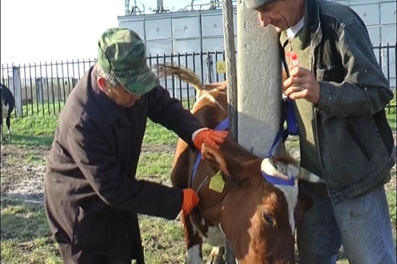 В Атырауской области идет вакцинация скота от сибирской язвы