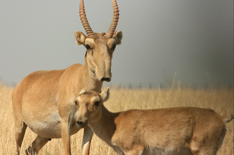 Mobile groups to survey saiga lambing period in Kostanay rgn