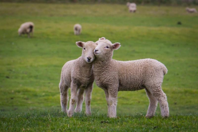Еще в одном селе Атырауской области от пастереллеза гибнут овцы