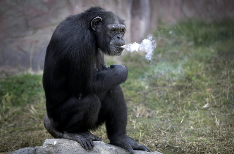 19yo chimpanzee smokes at N Korean Zoo