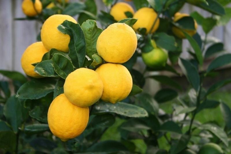 В Толебийском районе начали выращивать лимоны