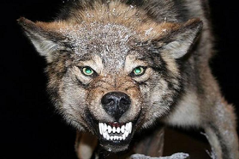 Волк проник в дом и напал на ребенка в Кыргызстане