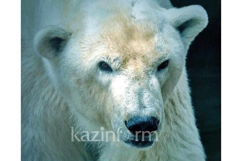 Единственному в Казахстане белому медведю потребовался стоматолог