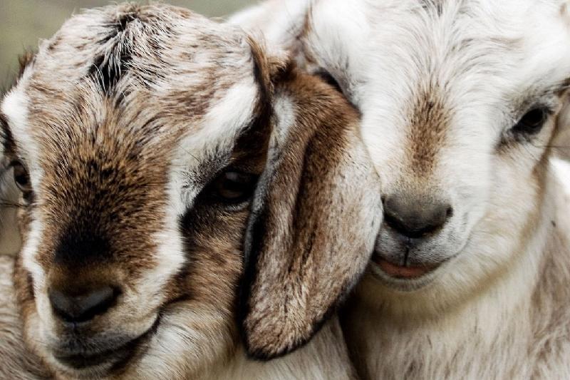 沙特有意每年购买江布尔州10万只羊
