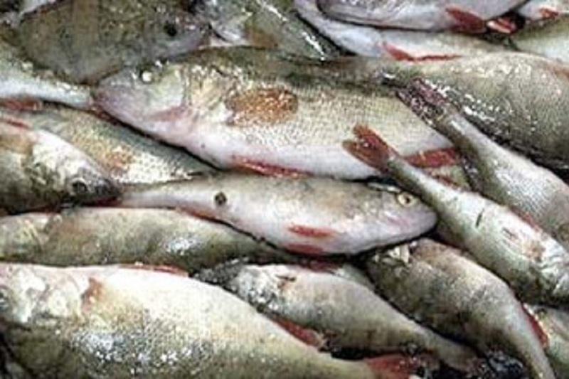 Нурлан Ногаев предложил уничтожать конфискованную у браконьеров рыбу