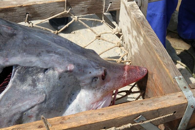 阿特劳渔民捕获重160公斤的大鱼