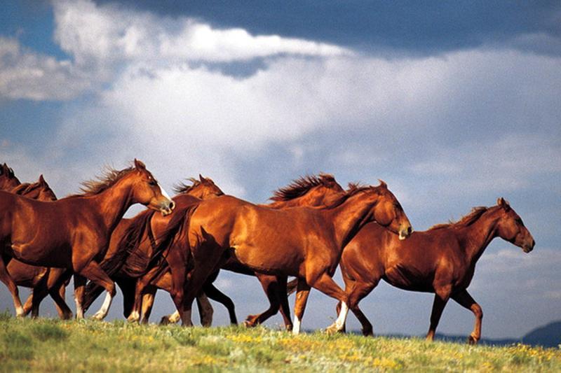 Массовый падеж лошадей приостановлен в Атырауской области