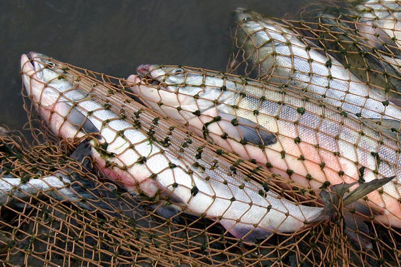 В апреле у браконьеров в Атырауской области изъято 42 тонны рыбы