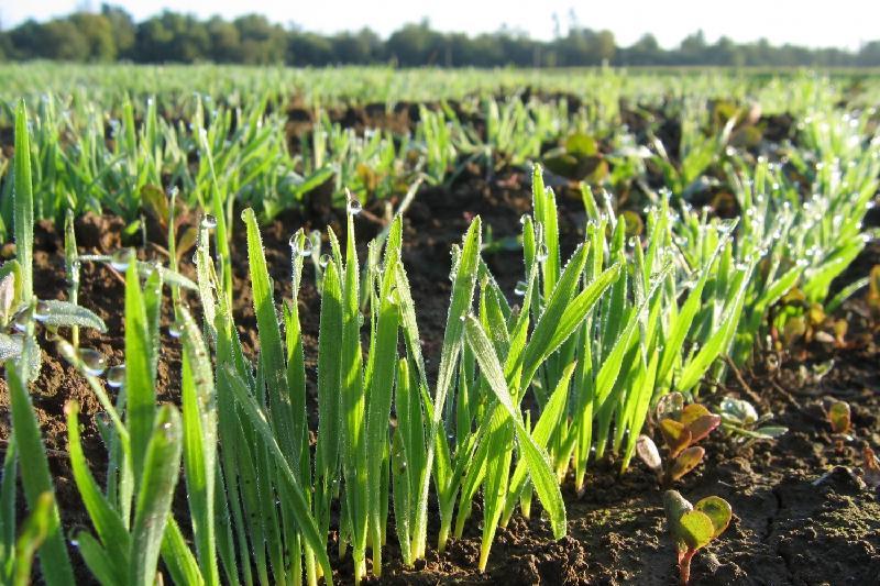 Площадь посева чечевицы в РК увеличена в 2017 году в три раза