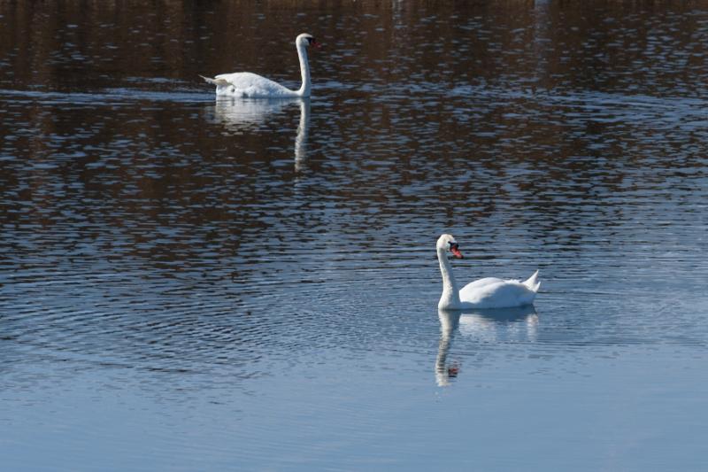 Озеро Талдыколь в Астане облюбовали белые лебеди
