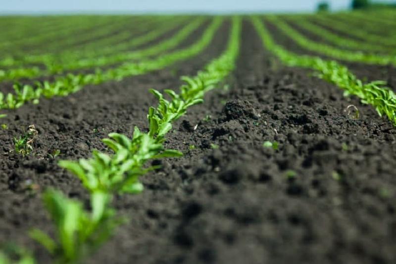 9 тыс га в Жамбылской области засеяно сахарной свеклой в 2017 году