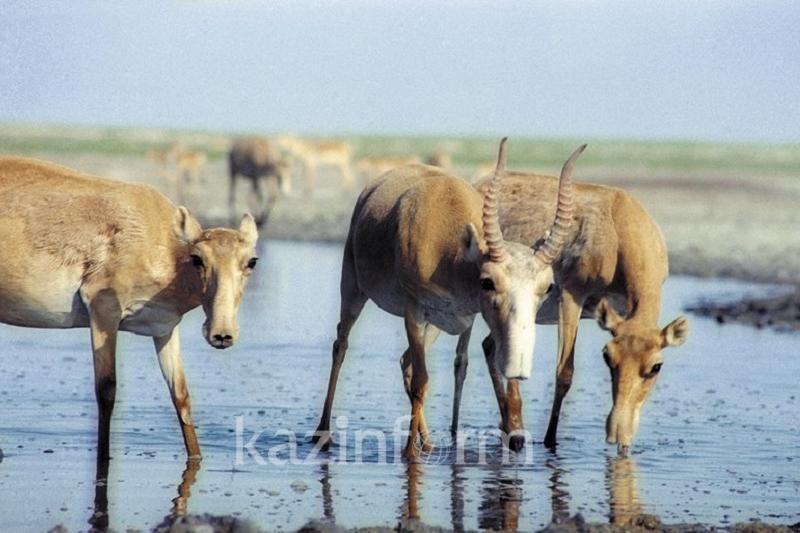 Липовая экспертиза: туши сайгаков выдавали за домашних животных