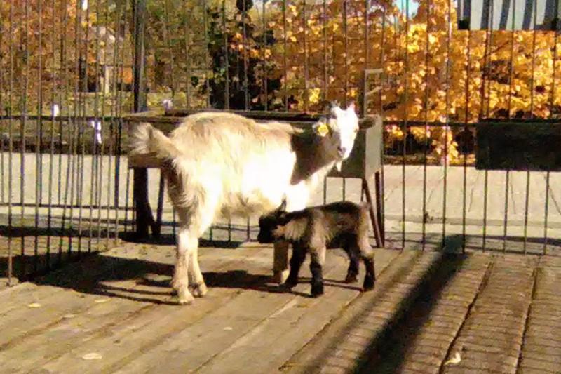 Редкий карликовый козлик родился в зоопарке Уральска