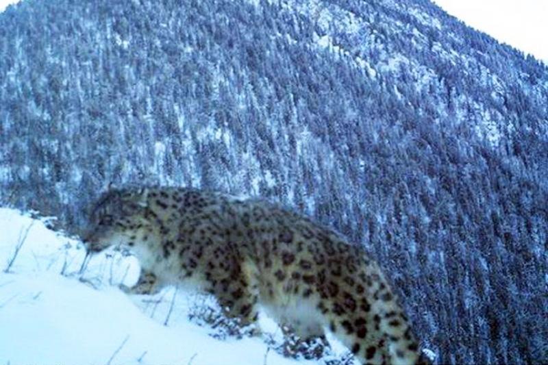 Ученым удалось зафиксировать следы снежного барса в Катон-Карагае