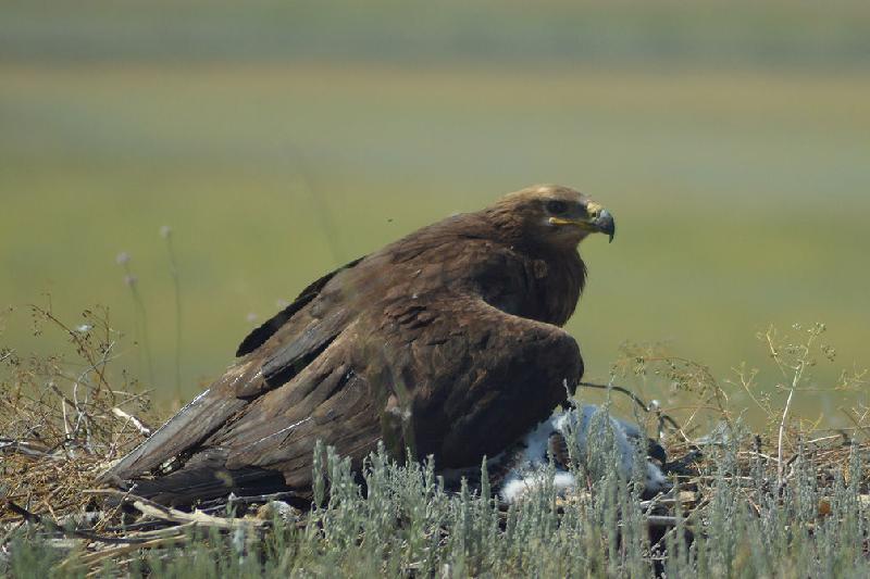 Популяция степного орла в Казахстане восстанавливается