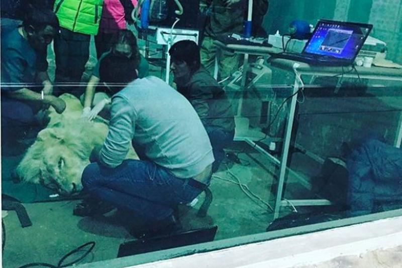 Алматы зообағында арыстан наркоздан оянбады