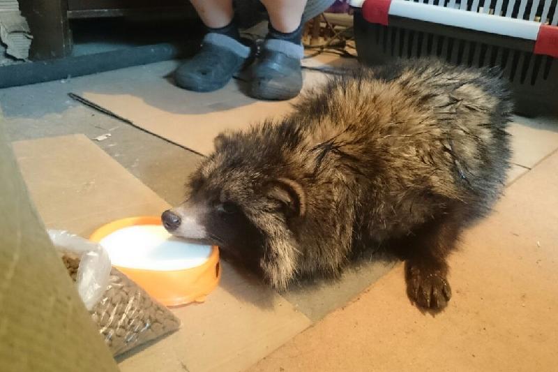 Дикую енотовидную собаку нашел во дворе житель Павлодара