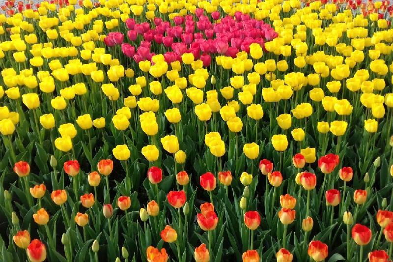 Более миллиона тюльпанов посадили в Шымкенте