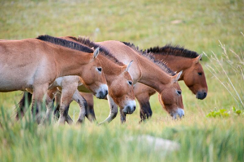 Предков лошади Пржевальского одомашнили 5,5 тысяч лет назад на территории РК