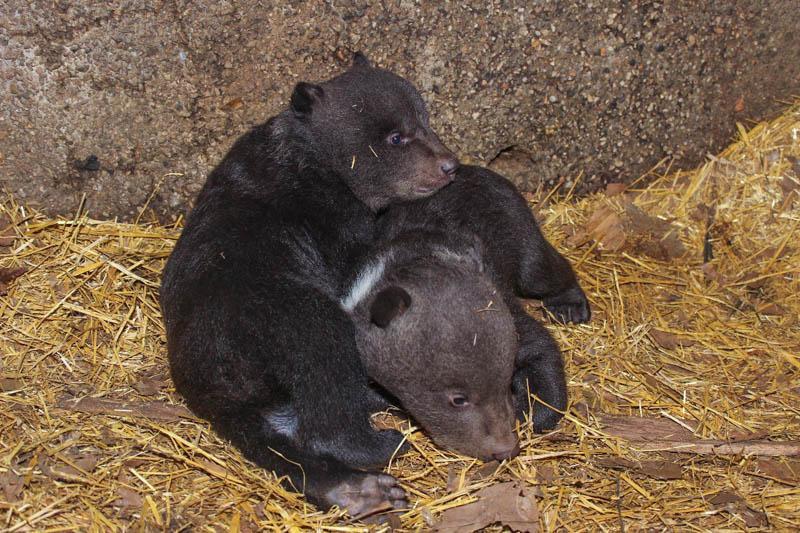 Четверо медвежат родились в зоопарке Шымкента