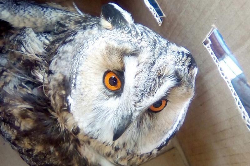 Спасённую в Павлодаре сову может принять Центр хищных птиц Новосибирска