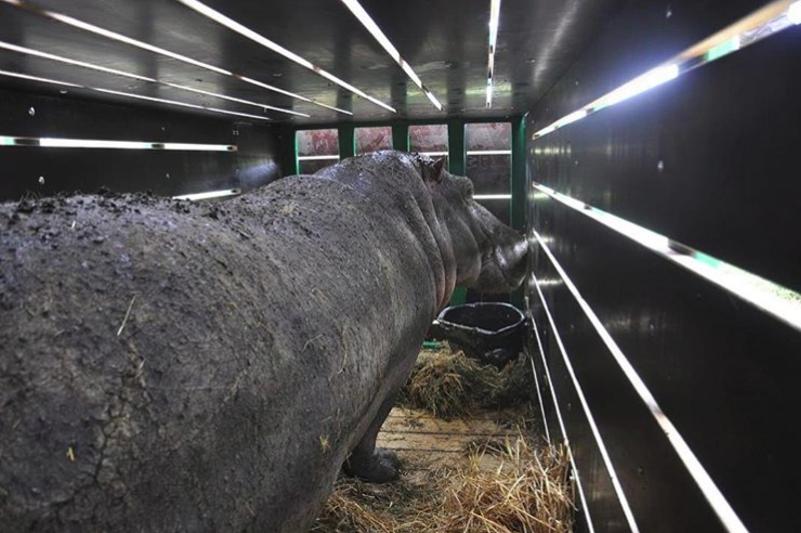 Алматылық бегемоттың қалыңдығы Франциядан ұшып келеді
