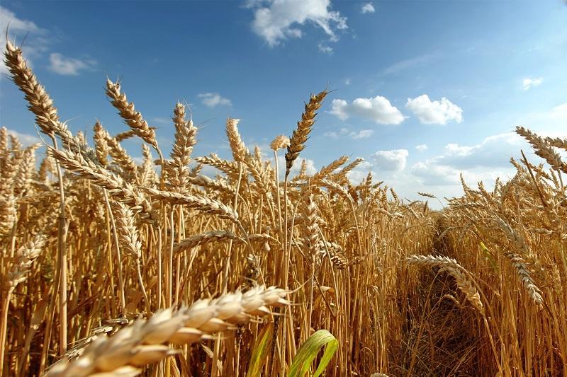 哈中企业签署小麦深度加工合作协议