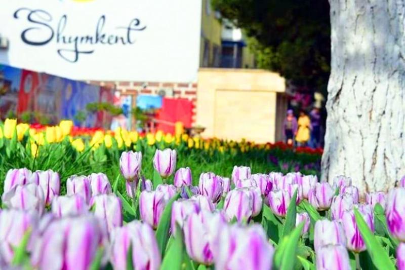 Тюльпанное великолепие в Шымкенте продержится до 20 апреля