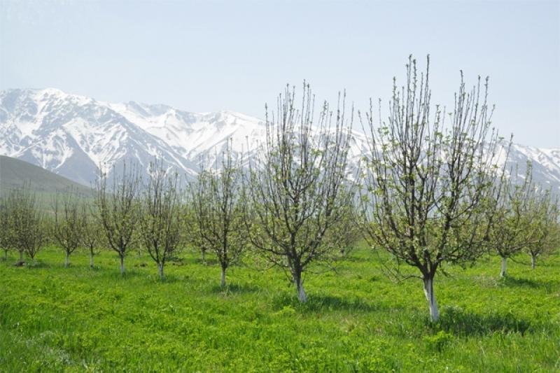 Площадь яблоневых садов увеличат в Южном Казахстане
