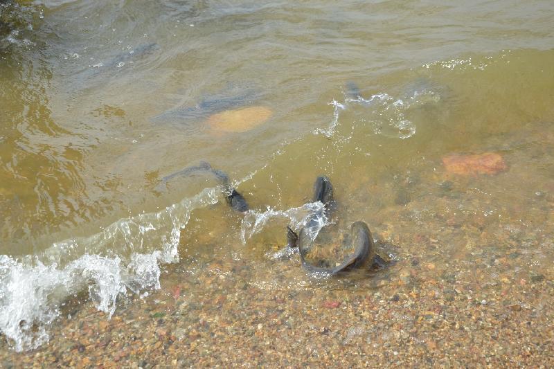 Из-за запуска амуров и толстолобиков могут запретить лов рыбы в озере Копа