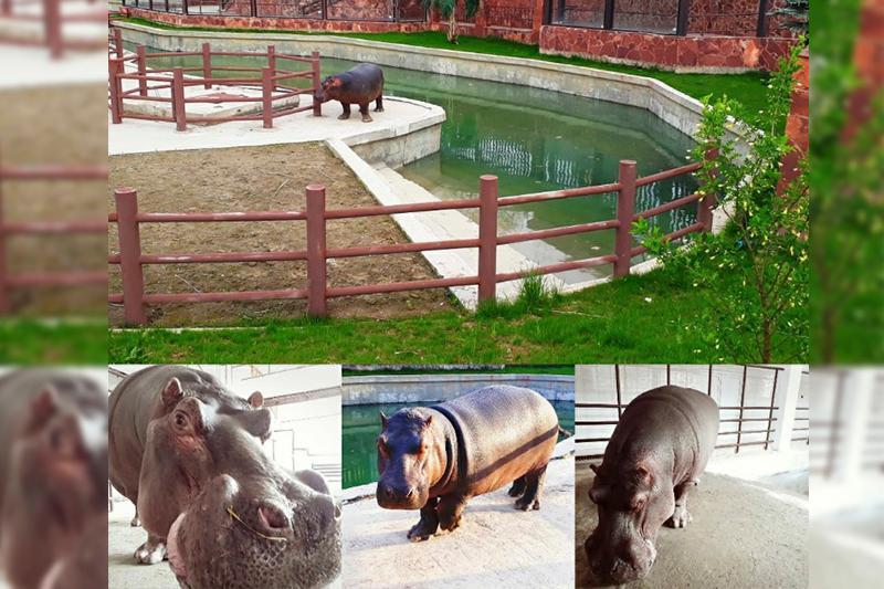 Бегемоты в шымкентском зоопарке празднуют новоселье