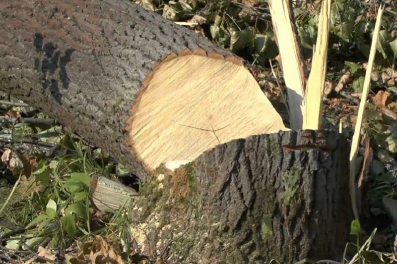 В Павлодаре пройдут новые слушания по вырубке тысяч деревьев под гребной канал